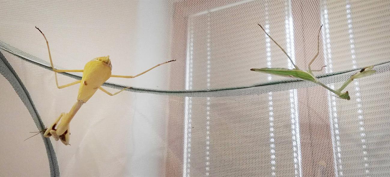 Stagmatoptera femoralis 5.jpg