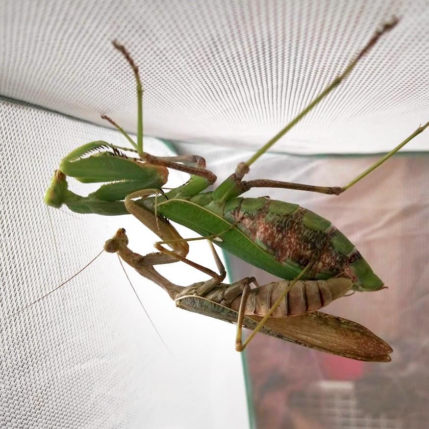 Sphodromantis viridis PÁŘENÍ.jpg