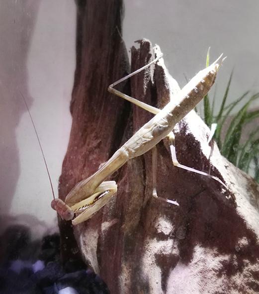 Polyspilota griffinii 1.jpg