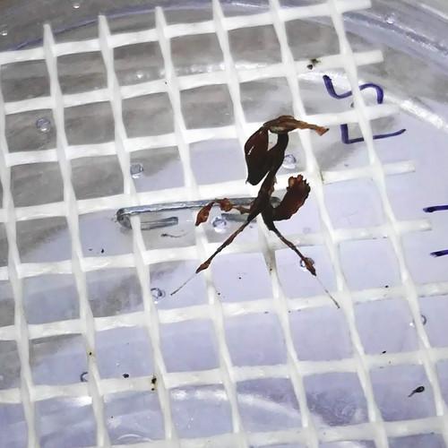 Phyllocrania paradoxa NYMFA.jpg