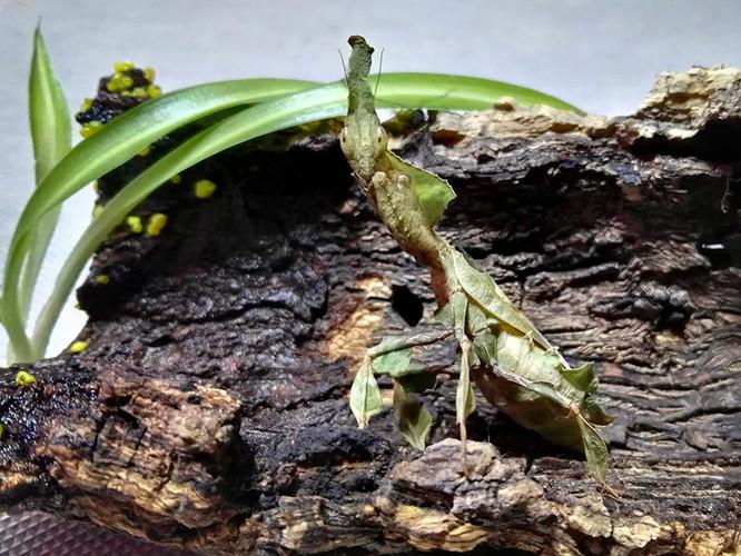 Phyllocrania paradoxa 1.jpg