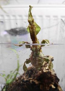Phyllocrania paradoxa 3.jpg