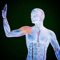 visual representation of our body highlighting shoulder