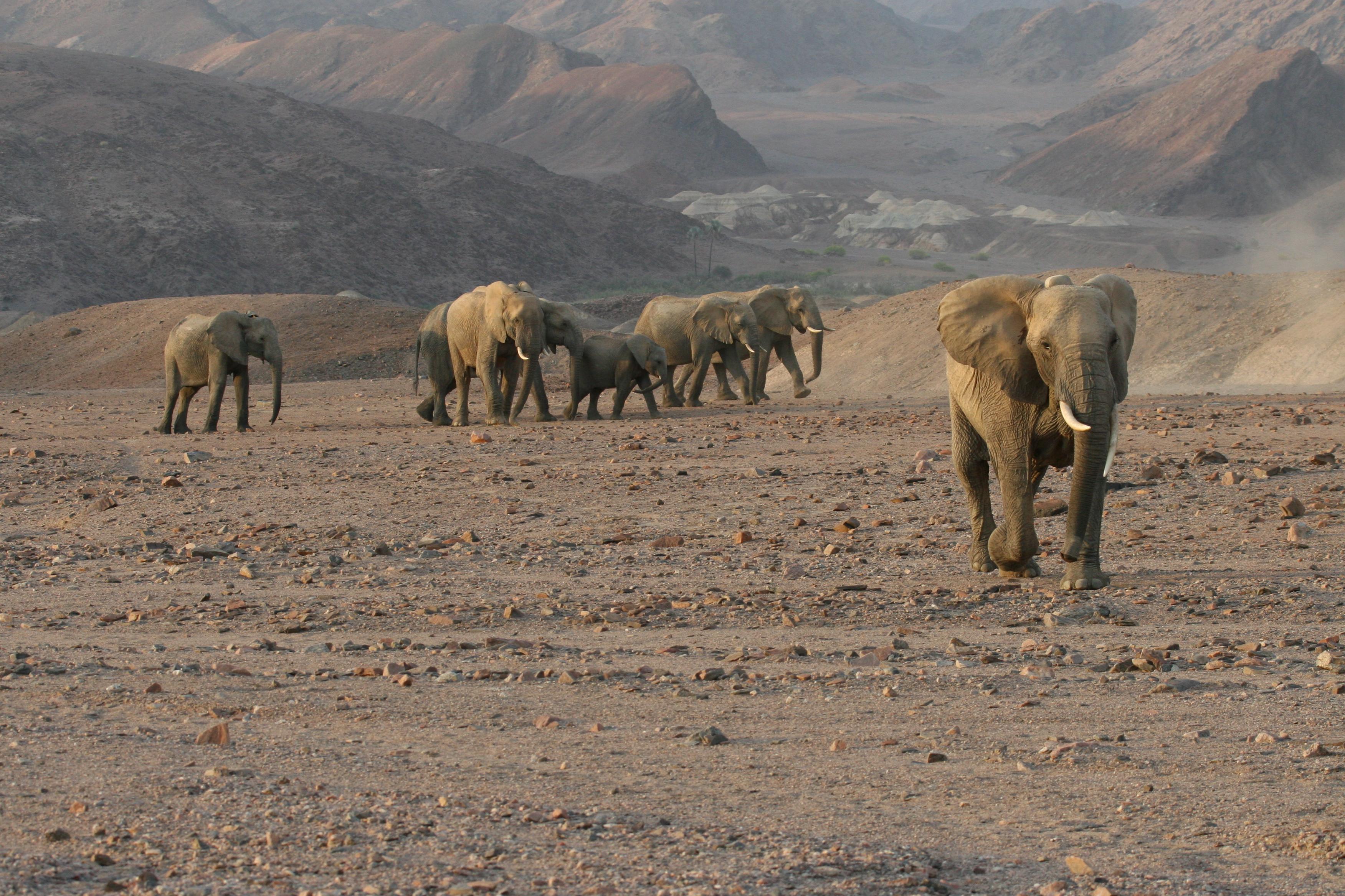 Hoarusib elephants