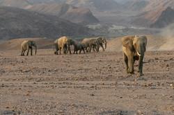 Kunene region desert elephants