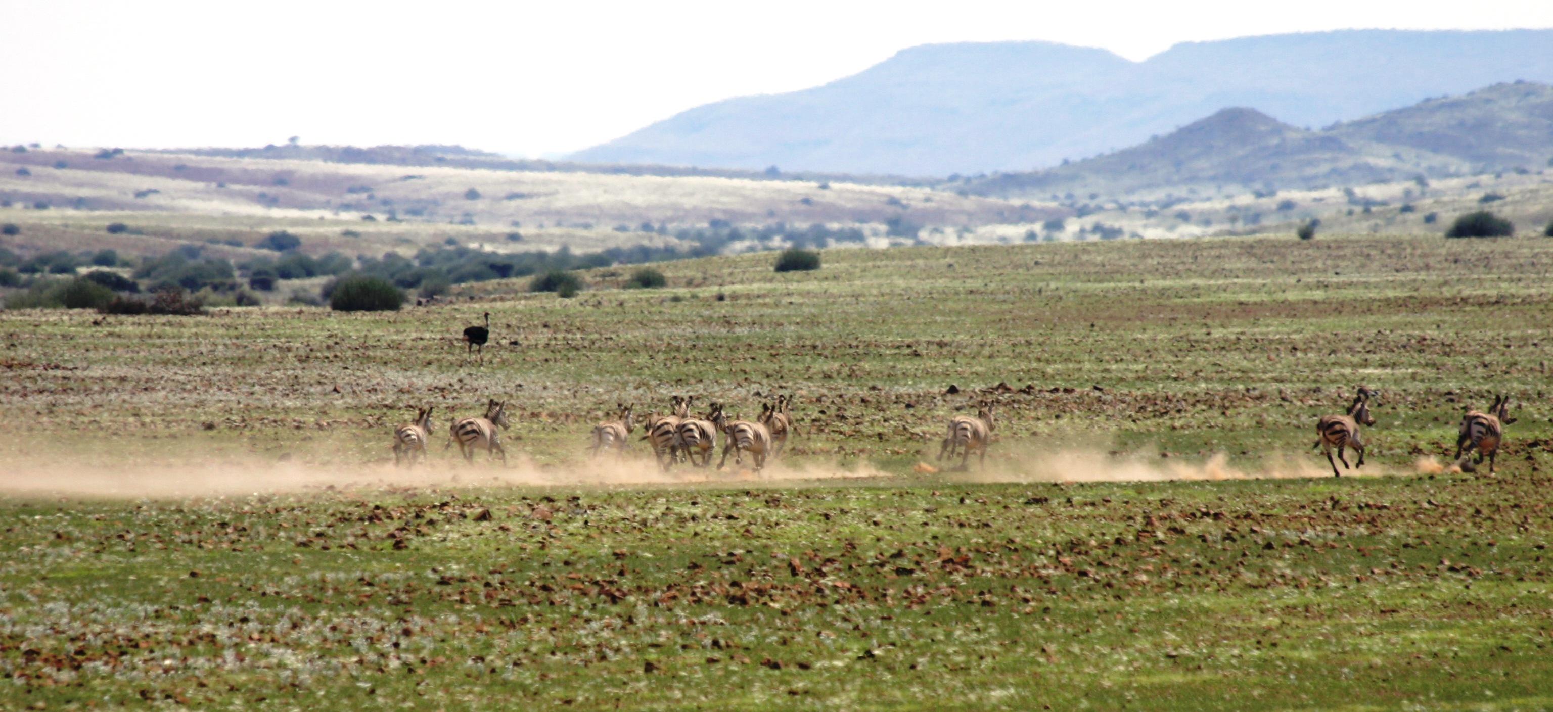 Damaraland zebra herd