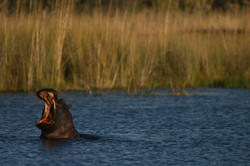 Okavango hippo
