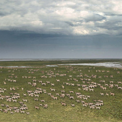 Kalahari zebra migration