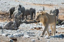Lion and Elephant in Etosha