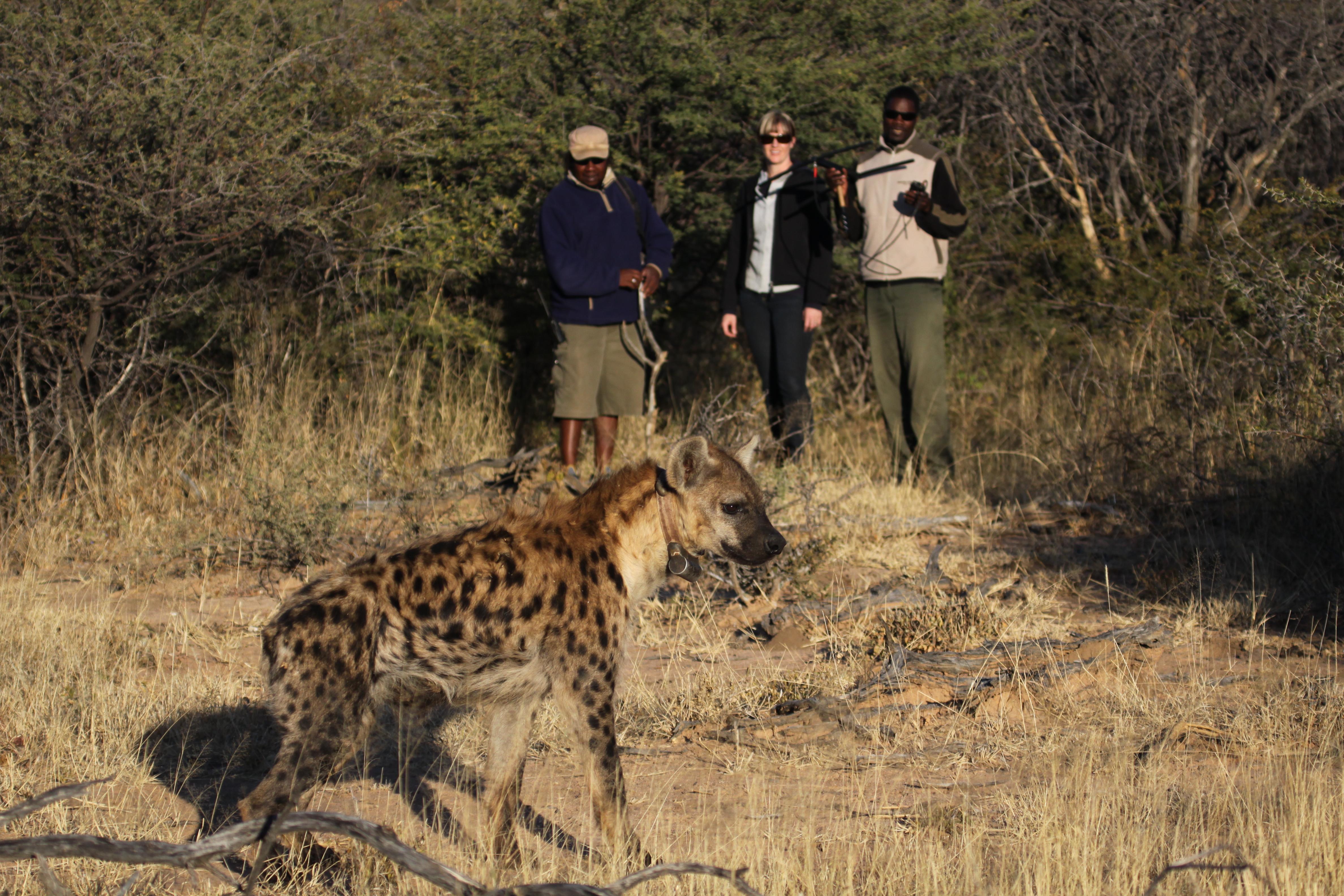 Hyena tracking