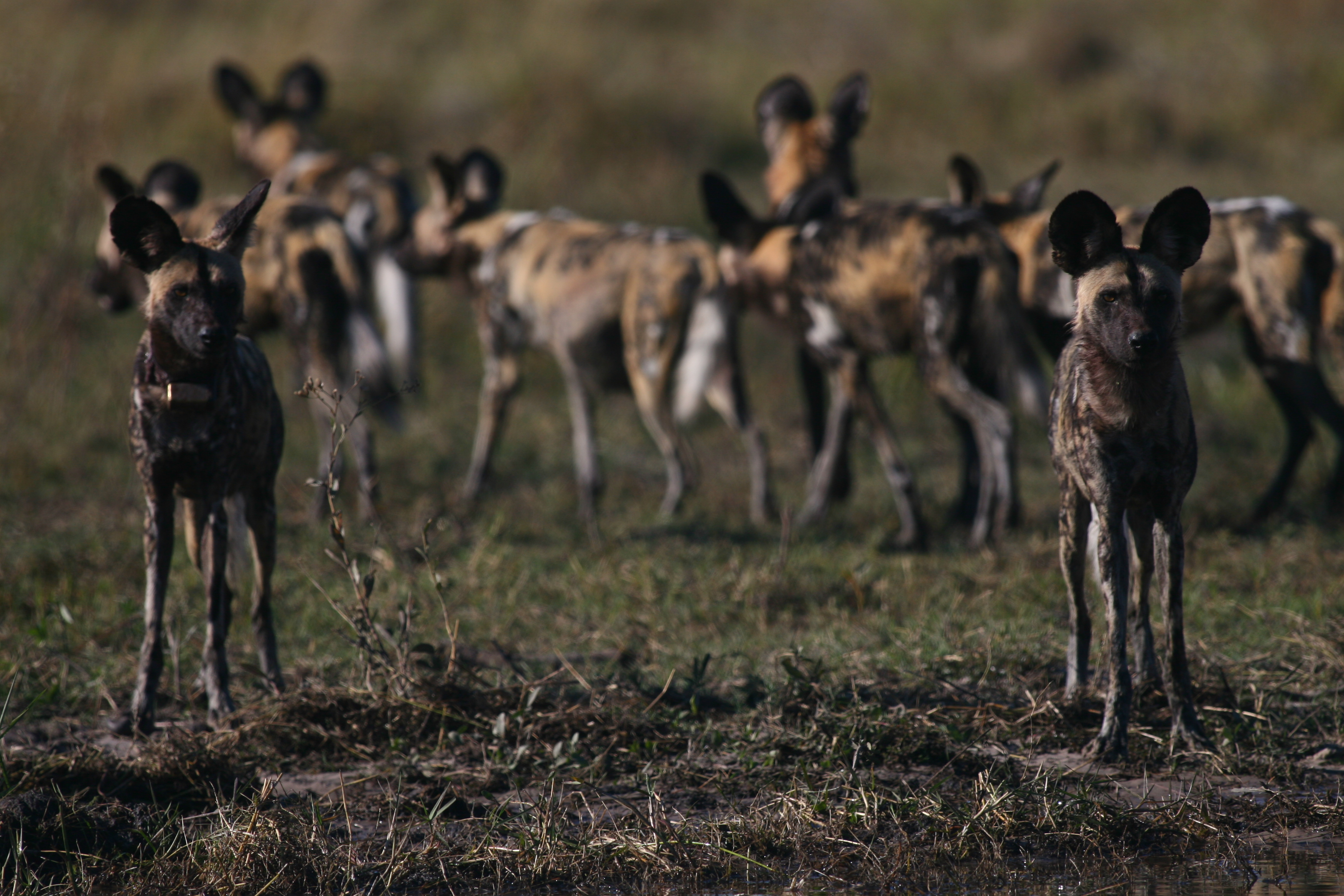 Moremi wild dog pack