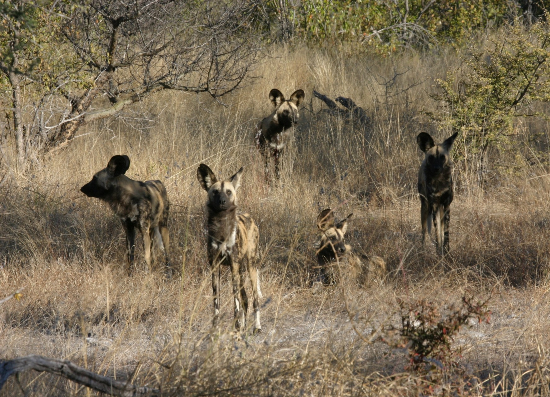 Wild Dog in Okonjima Reserve