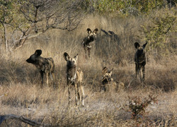Wild Dog in Okonjima Reserve