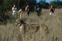Cheetah tracking on foot