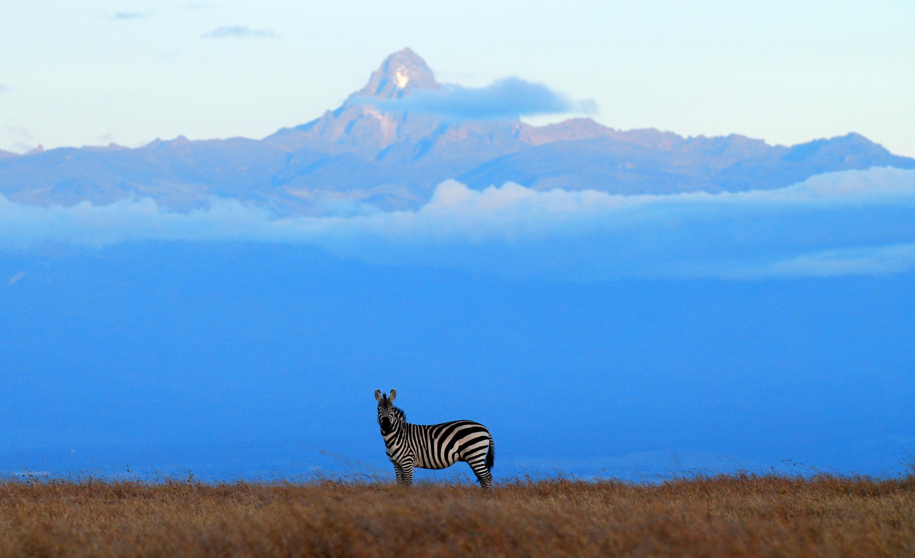 Ol Pejeta Zebra