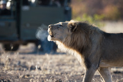 Lion in the Reserve