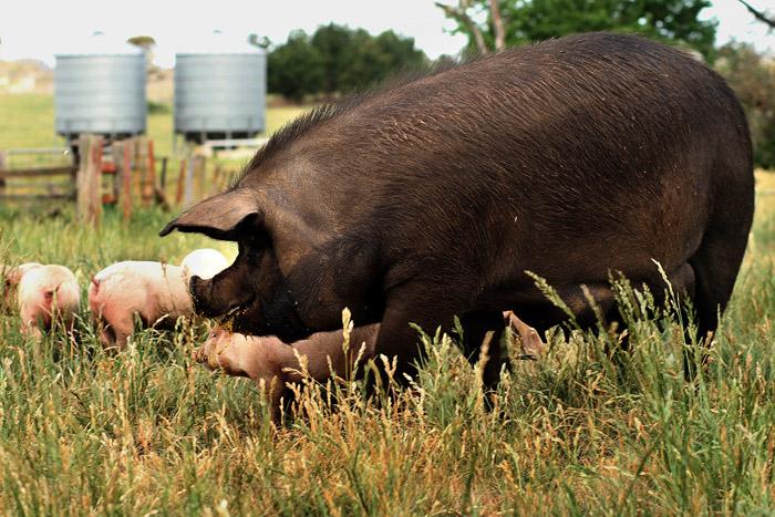 Mrs Pig & Family