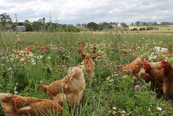 chickens-in-grass.png