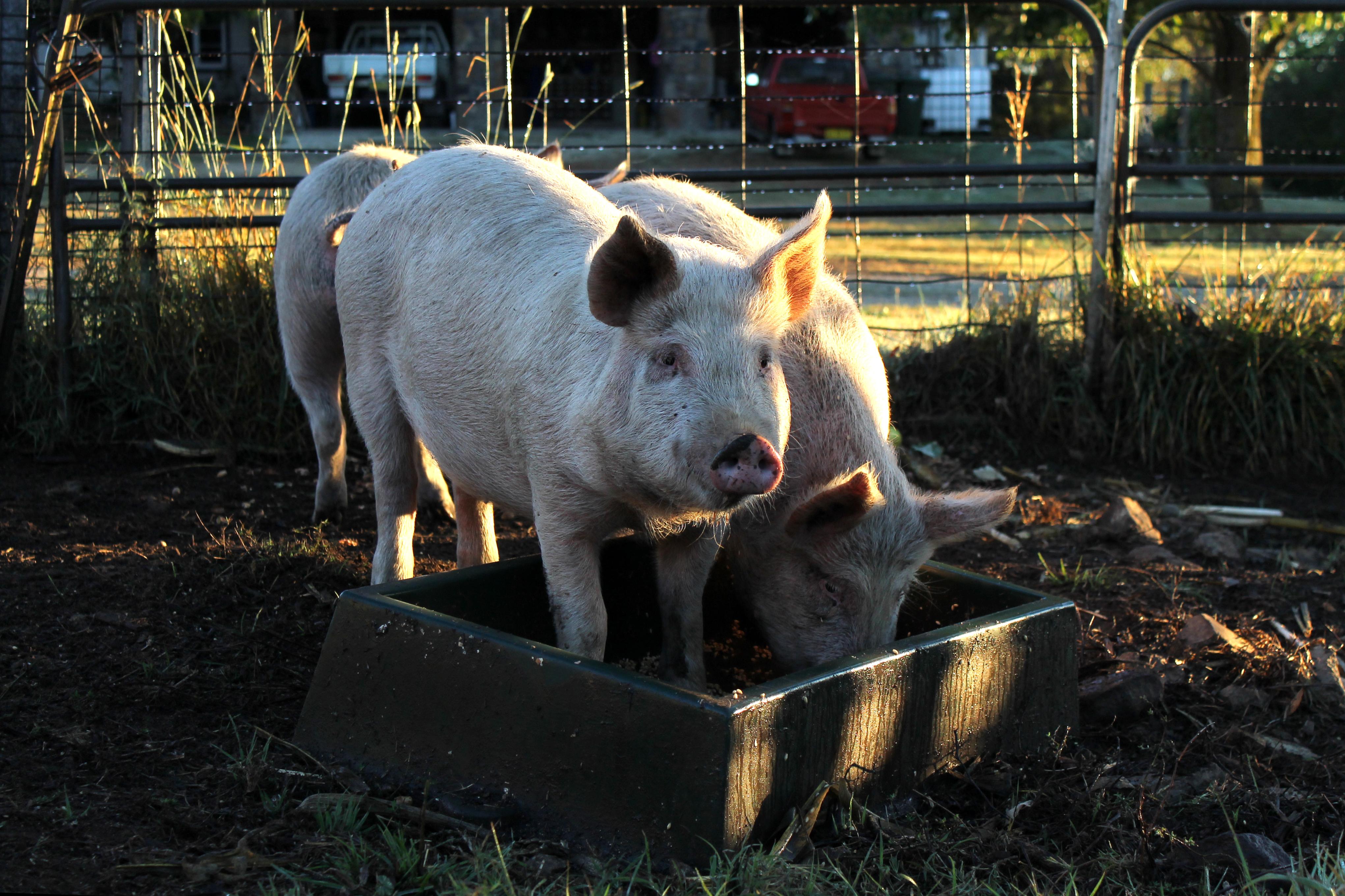 Past Piglets
