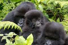 Gorilla trek in rwanda with acacia holidays
