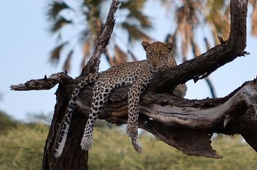 leopard posing for an acacia holidays photographer