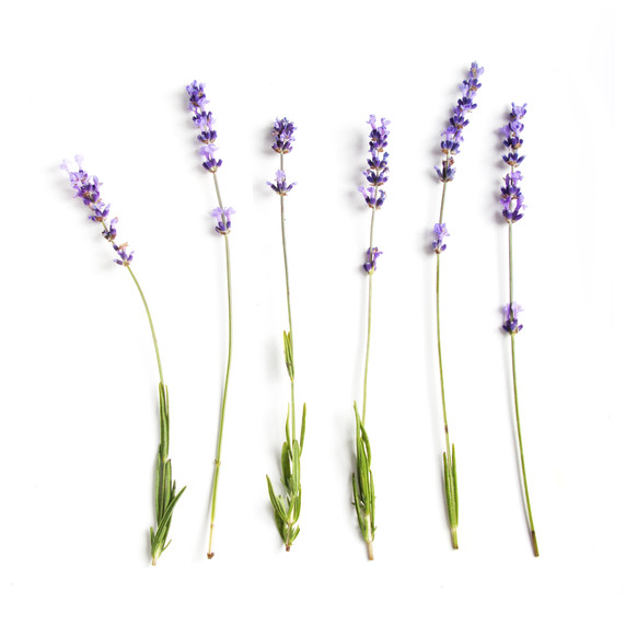 Lavender flowers collection .jpg