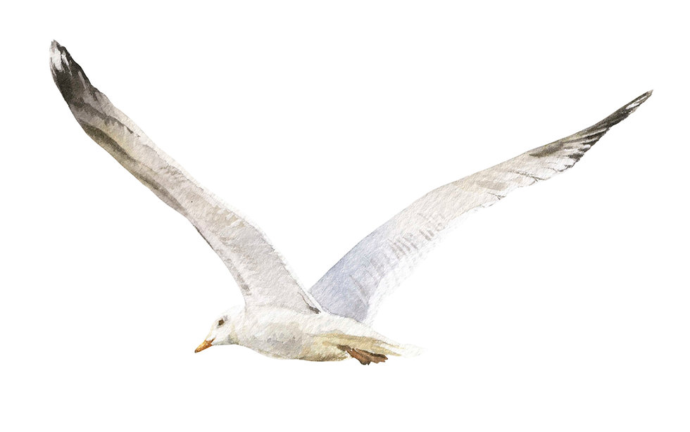 Seagull Watercolor.jpg