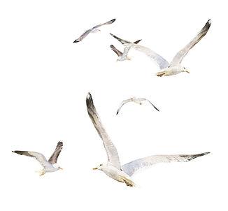 Seagull flock.jpg