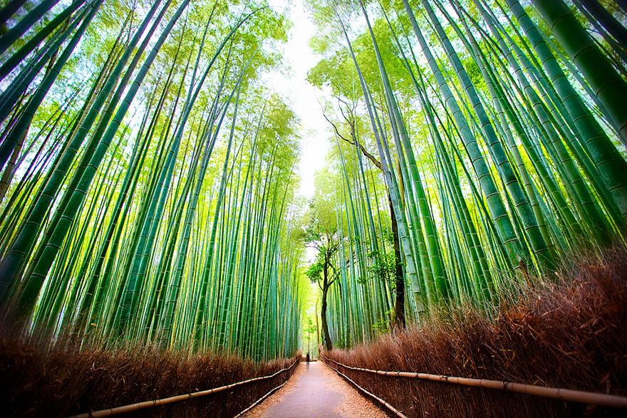 Yaponiya Bambuk meşələri
