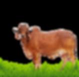 Gir-Cow.png