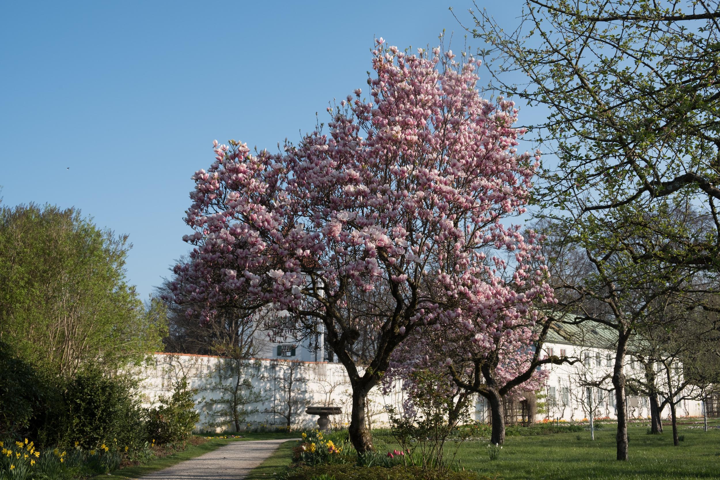 Magnolie im Dachauer Schlossgarten