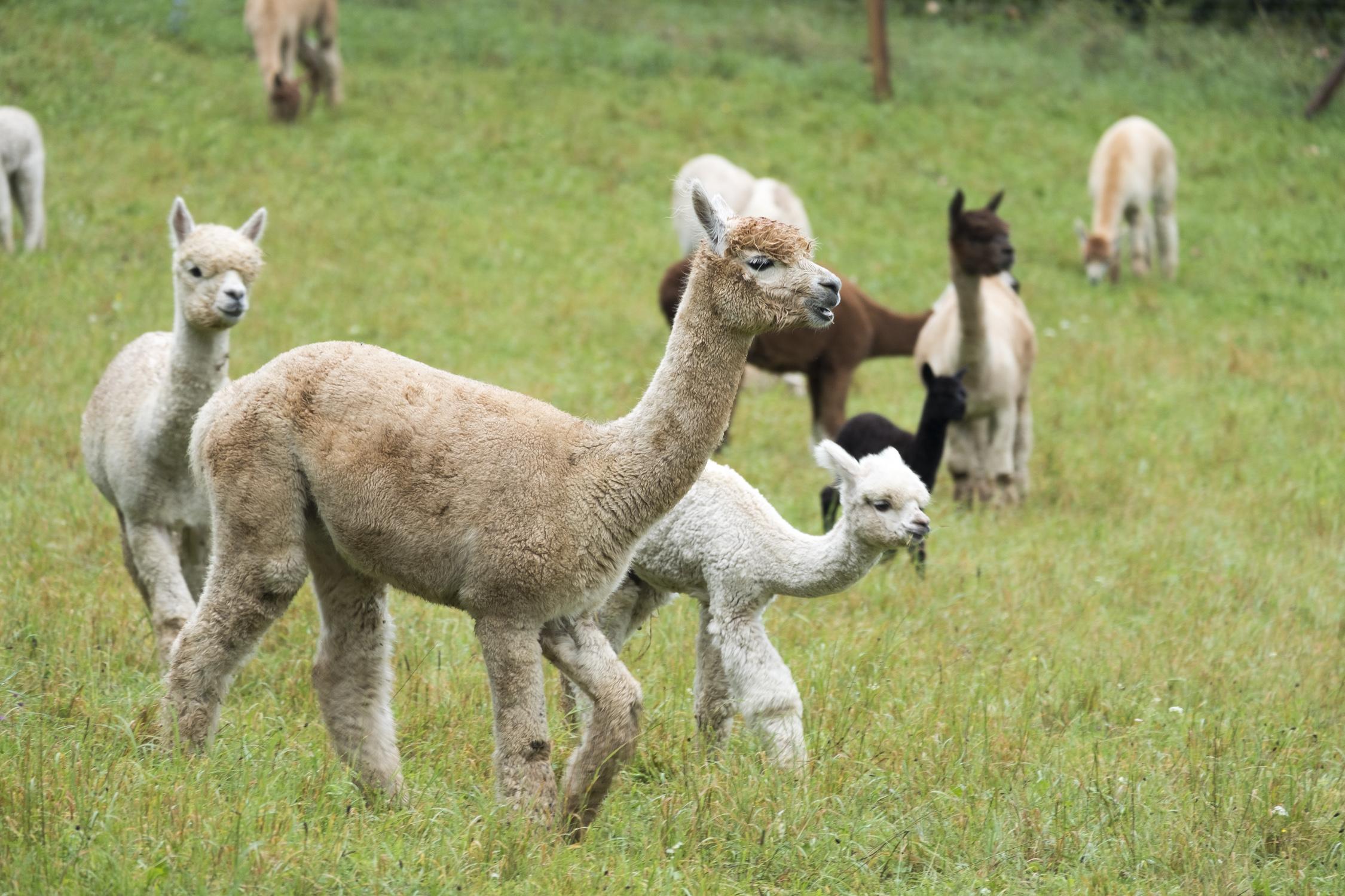 Lamas nahe Rothenburg