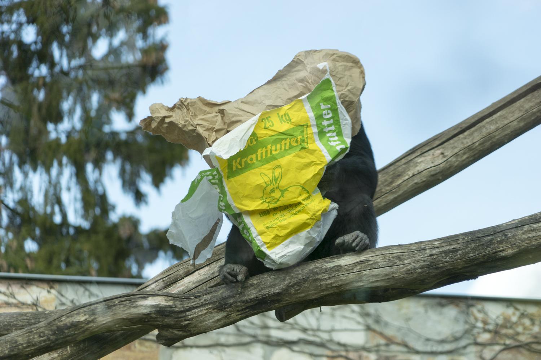 Schimpanse sucht Kraftfutter