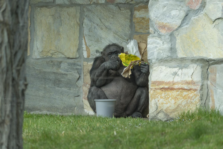 Kraftfutter futternder Schimpanse