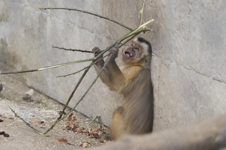 Gehaupte Kapuzineräffchen