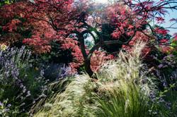 Lavendel-Schlitzahorn-Gras