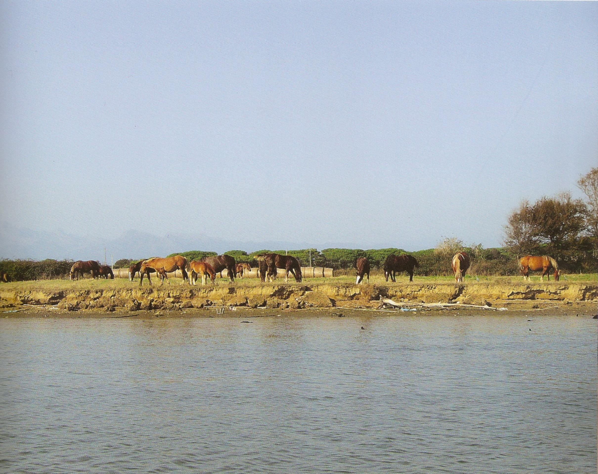 Cavalli lungo l'Arno a San Rossore