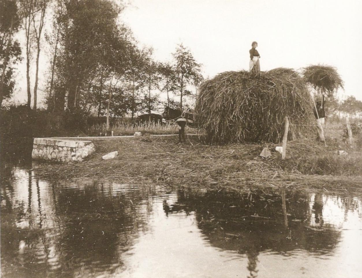 Padule di Coltano, la raccolta del falasco, 1915