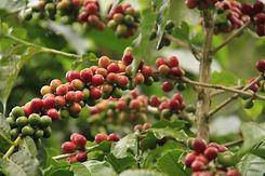 Coffee Cluster Large Ripe.jpg