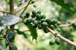 Coffee Cluster Green.jpg