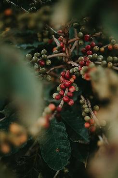 Coffee Tree Clusters.jpg