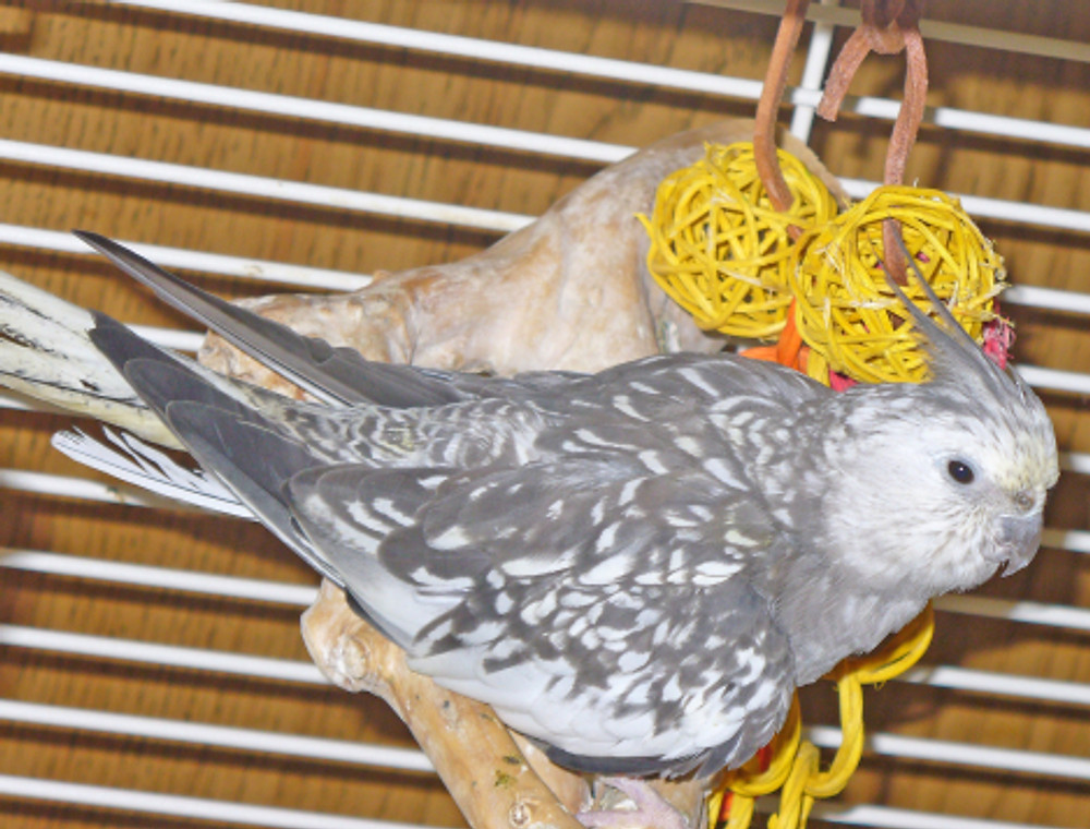 Successfully treated for psittacosis, Elendil loved to sit on her multi-branch java wood perch and play with her toys.