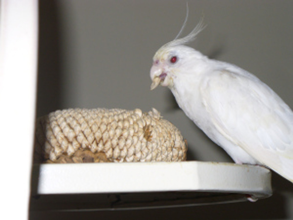 My cockatiel Mithril in 12/2013 enjoying a Yuletide treat:  a sunflower head.  Sunflower heads are great for companion birds, forcing them to problem solve to get at their food.