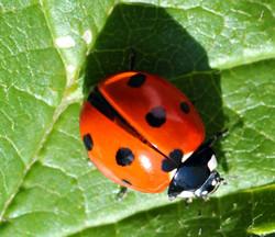 ladybird_1.jpg