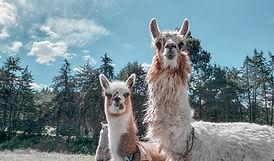 alpacas in peru.jpg