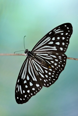 ideopsis_2