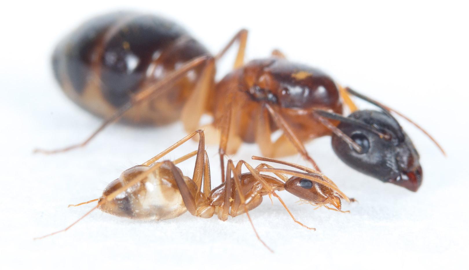 Camponotus-pseudoirritans_kopen.jpg