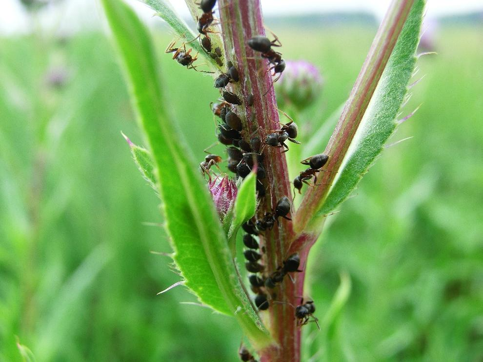 lasius niger 3