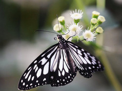 ideopsis_1