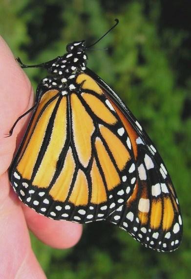monarch_3